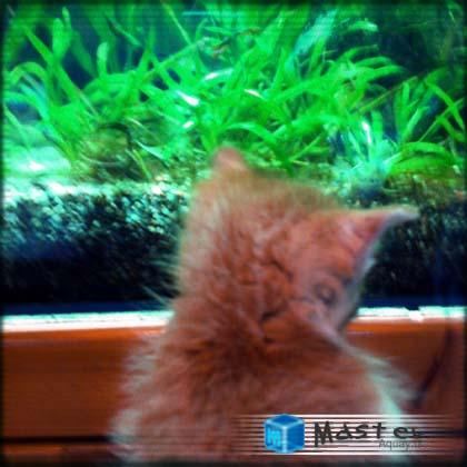 水槽を観賞する仔猫
